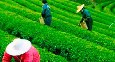 diferencias entre tés ecológicos y naturales