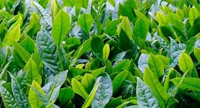 beneficios té ecológico