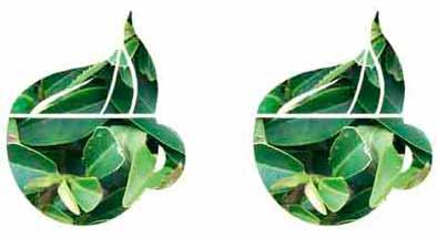 té verde propiedades y beneficios