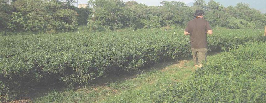 Siembra, cosecha y procesado del té: el camino antes de llegar a tu mesa