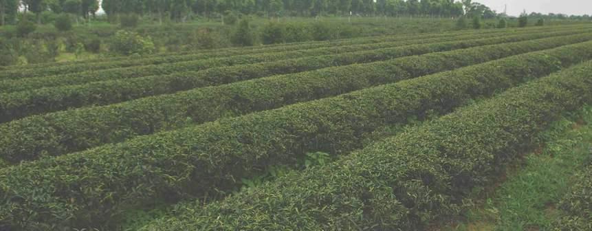 ¿Cómo y dónde se cultiva el té? Datos de mercado y otras curiosidades